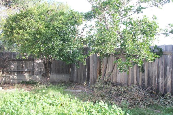 trimmed mandarin tree